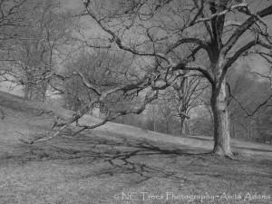 'Ansel's Tree'