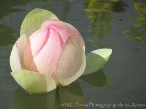 Water Lily - Italian Garden, Biltmore Estate