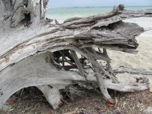 Driftwood - Sanibel Island, FL by NC Trees Photography