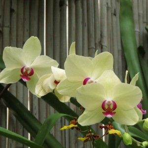 Pale Yellow Orchids with Fuchsia Center by NC Trees Photography
