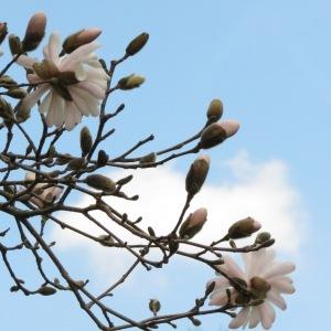 Mangnolia Tree BlossomsPhoto by NC Trees Photography