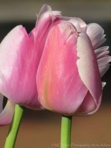 Pink Tulips II