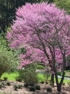 Red Bud in Bloom by Anita Adams of NC Trees Photography