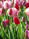 Tulips in the Morning Light