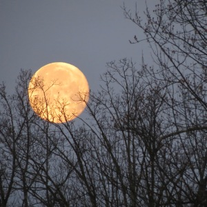 Amazing Moon through the branches.