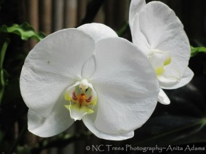 White Orchids by NC Trees Photography