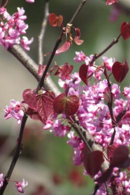 Redbud blossoms.