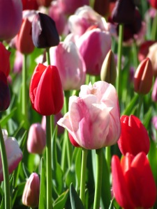 'Pink, Red and Purple Tulips' by Anita Adams of NC Trees Photography