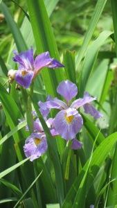 'Purple Iris II' by NC Trees Photography
