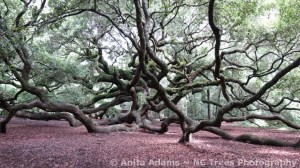 Angel Oak Tree by NC Trees Photography Anita Adams