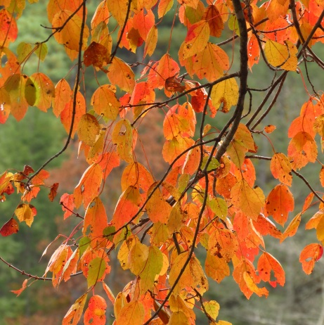 'Stain glass Leaves of Autumn' by Anita Adams of NC Trees Photography
