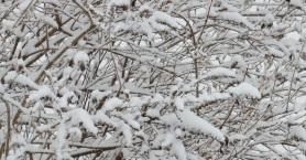 February Snow Covered Branches