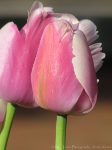 'Pink Tulips' Photographer: Anita Adams NC Trees Photography