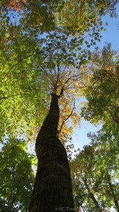 Reaching for the Heavens by Anita Adams NC Trees Photography