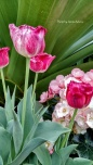Signed Pink, Red and White Tulips