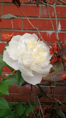 Signed White Peony and Brick II