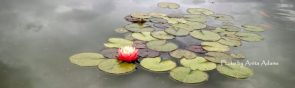 cropped-signed-water-lily.jpg