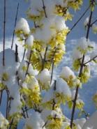 Snow on Forsythia
