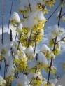 Snow on Forsythia