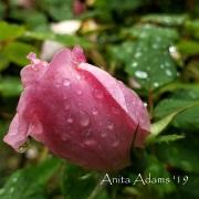 SIGNED - Spring Rose Pink