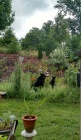 Bears in Back Yard July 2015